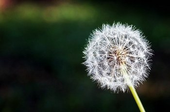 dandelion-167112__340.jpg