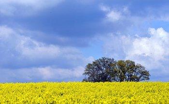 oilseed-rape-2286026__340.jpg